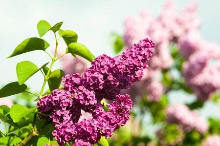 Verzweigen Sie sich mit Frühlingsblüten rosa lila Blumen, blühender Blumenhintergrund.