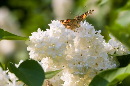Butterflies flies to a blossoms lilac flowers, beautiful abstract spring background.