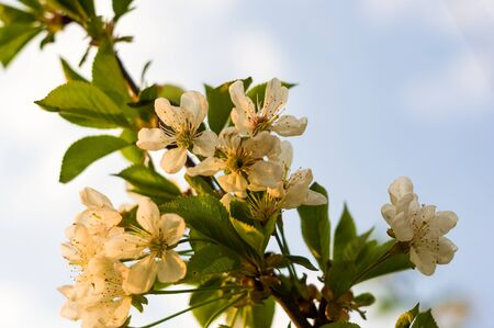 Background blooming beautiful white cherries in raindrops on a sunny day in early spring close up Stok Fotoğraf