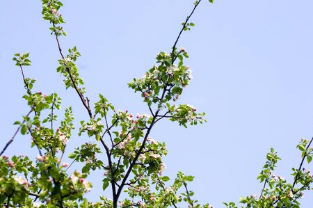 Background of blooming beautiful flowers of apple on a sunny day in early spring close up