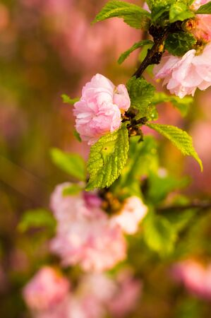 Background blooming beautiful pink cherries in raindrops on a sunny day in early spring close up Stok Fotoğraf