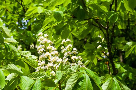 Flowering branches of chestnut Castanea sativa tree, and blue sky Stok Fotoğraf