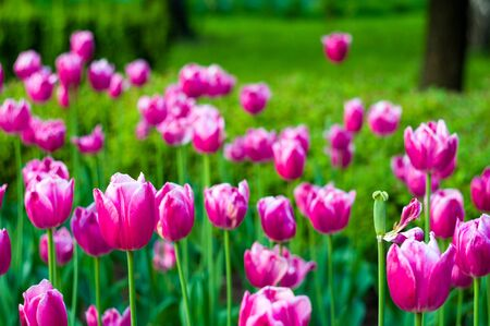 Beautiful colorful tulips in early spring in the garden on a background of bright green grass