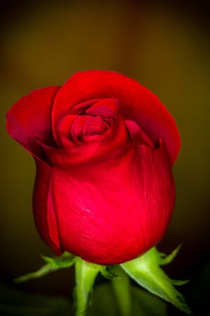 Beautiful Red Rose flower on dark background. Nature. Greeting card