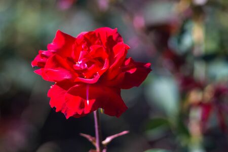 Red Rose flower on green background. Nature.