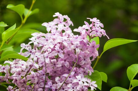 Branch with spring blossoms pink lilac flowers, blooming floral background. Foto de archivo