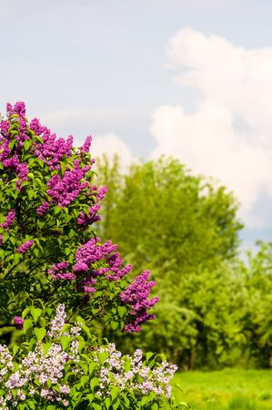 Branch with spring blossoms pink lilac flowers, blooming floral background.