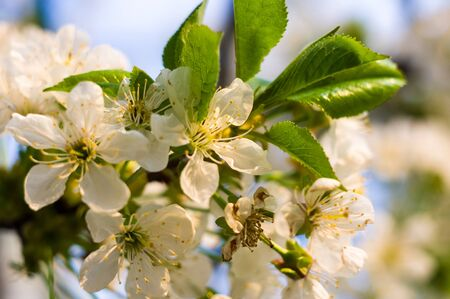 Background blooming beautiful white cherries in raindrops on a sunny day in early spring close up Stock Photo