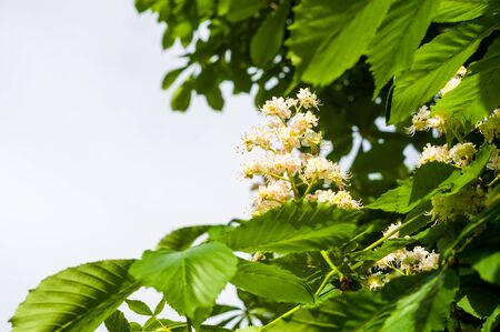 Flowering branches of chestnut Castanea sativa tree, and blue sky