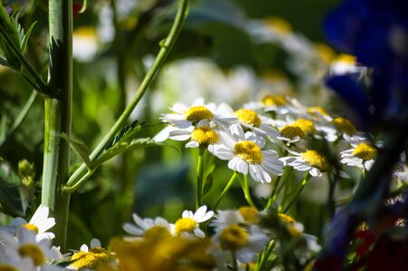 Blooming camomile, beautiful nature scene, summer background Stock Photo