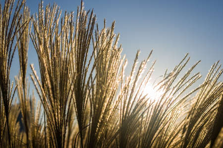 Chinese Silver Grass, Maiden Grass, Miscanthus chinese, Miscanthus sinensis illuminated by soft evening sunlight, autumn background Banco de Imagens