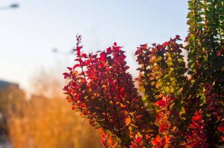 Purple Leaves On Bush Of Thunberg's Barberry, Berberis Thunbergii, The Japanese Barberry, Or Red Barberry illuminated by soft evening sunlight, autumn background.