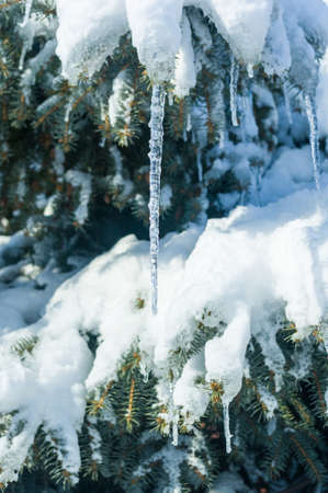 Winter landscape - snow and icicles on spruce branches sparkle in the rays of the bright sun, festive background