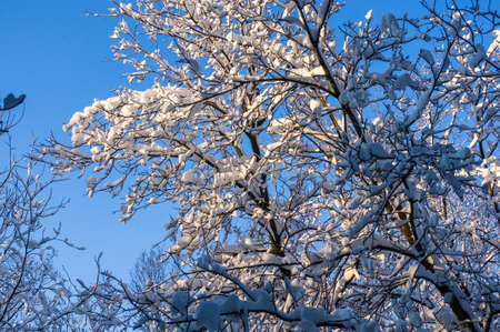Winter landscape - snow and icicles on tree branches sparkle in the rays of the bright sun, festive background