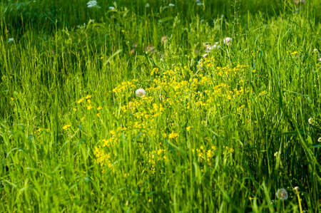 Spring Blooming field - bright green plants, grass and wildflowers with young foliage on a bright warm sunny day in early spring.