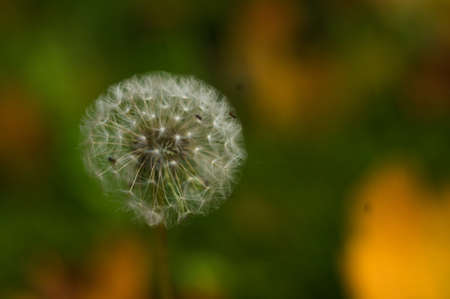 Dandelion seeds in sunlight on spring green background, macro, close-up