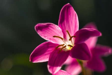 decorative pink flower rain lily Zephyranthes grandiflora on blurred background closeup,
