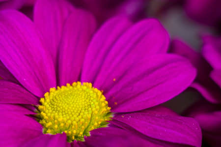 Beautiful bright purple and yellow chrysanthemum flowers, selective focus, macro