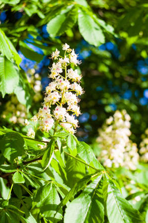 Flowering branches of chestnut Castanea sativa tree, and bright blue sky Stock Photo