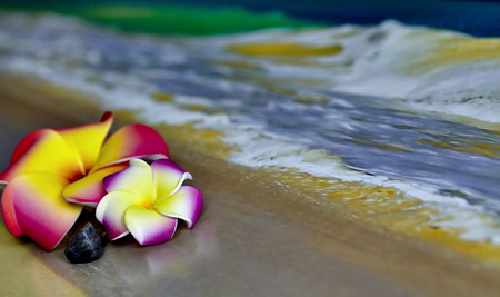 shorebreak: A pink and yellow Hawaiian Flower, Plumeria, laying on sand with waves  Stock Photo