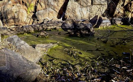 contaminacion ambiental: Algas verdes en el agua que rodea un lago