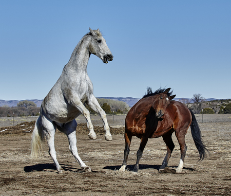 rearing: Two horses fighting, one rearing and the other twisted to avoid the rearing horse