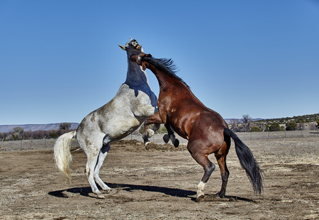 rearing: Gray horse and Brown horse rearing up in a fighting position
