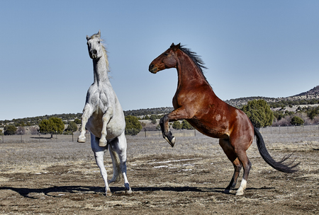 rearing: Gray horse and Bay colored horse rearing up on hind legs.