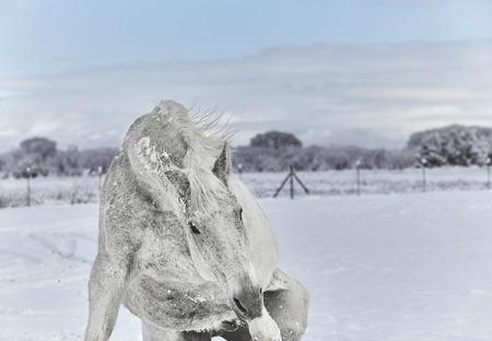levantandose: Caballo blanco levantarse después de rodar en la nieve Foto de archivo