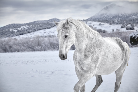 horse in snow: White Horse in snow with mountain in background