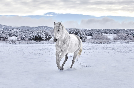 cantering horse: White horse cantering on snow covered ground with mountain in the background