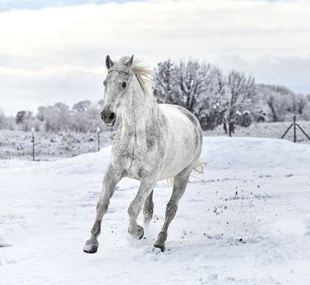 horse in snow: White horse galloping on snow covered ground with trees in the background