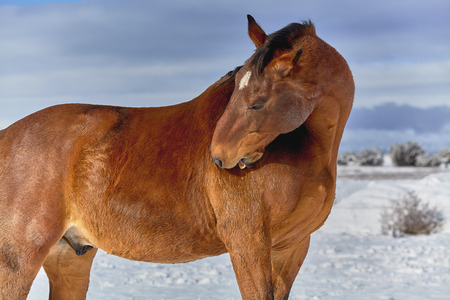 forelock: Brown horse reaching back to scratch his shoulder with his teeth in a snow covered background Stock Photo