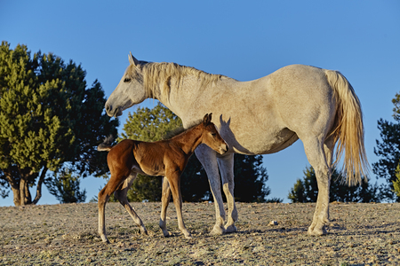 horse andalusian horses: A brown foal standing next to his mother