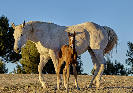 forelock: A brown foal standing close to his mother