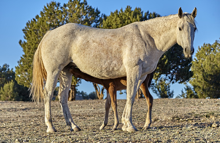 forelock: A brown foal drinking milk from his mother in a wilderness area