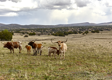 longhorn: A longhorn bull with his cows and calves in a herd on the open range