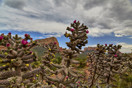 red rock: Blooming pink flowers on Cacti with Red Rock formations in the background