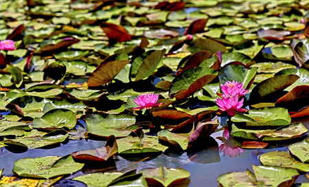 lily pads: Pink water lillies in a marsh with lily pads