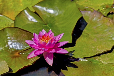 lily pads: Pink water lily in a marsh with lily pads