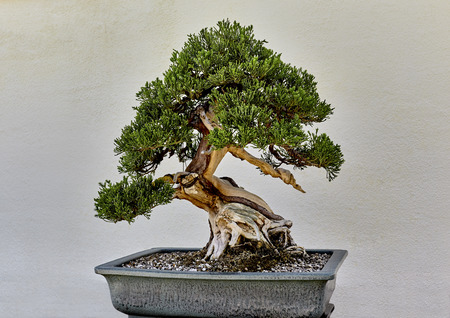 minature: Creeping Juniper Tree bonsai plant in pot