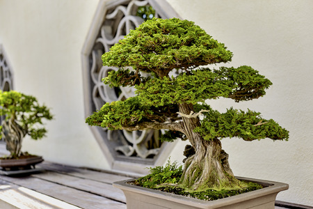 hinoki: Cypress Bonsai on wooden shelf in Arboretum Stock Photo