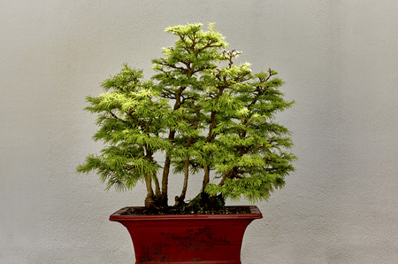minature: Chinese Golden Larch Bonsai Tree Stock Photo