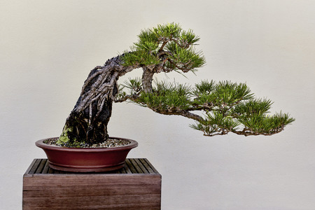 minature: Japanese Black Pine Tree as a Bonsai