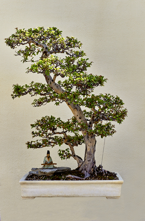 minature: Bonsai speciman called paupers tea