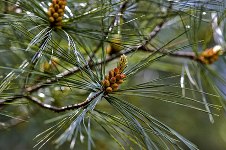 pine needles: Close up of pine cone bud and pine needles on branches Stock Photo