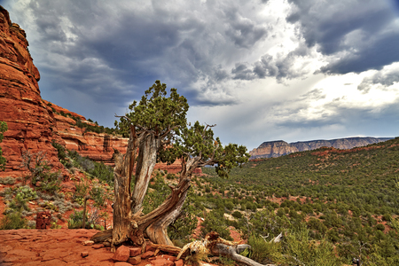 red rock: Hardwood tree growing on red rock formations in Sedona Arizona