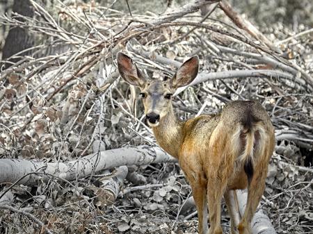 mule: Arizona Mule Deer in the forest