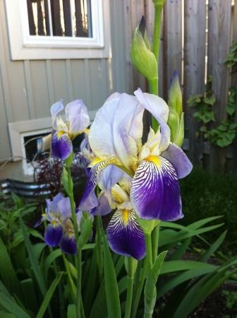 Our Purple Iris in its full glory Reklamní fotografie