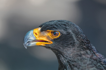 stern: Portrait of Black Eagle (Verreaux Eagle) with stern look and yellow beak